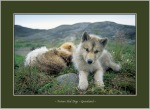 Future Sled Dogs