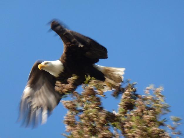 Eagle004.