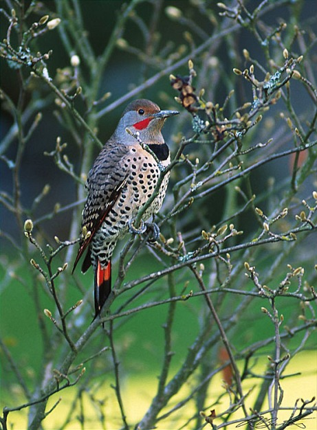NorthernFlicker.