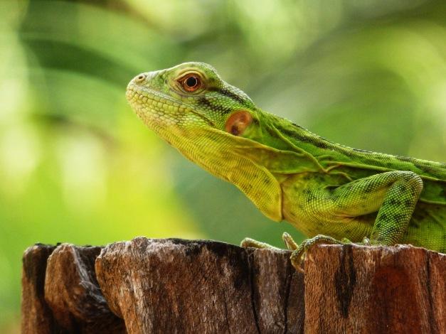 Lizard0012.