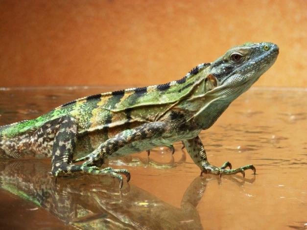 Lizard007.