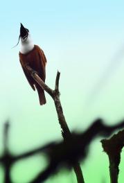 3-WattledBellbird.