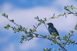 African Starling