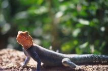 Agama Lizard.