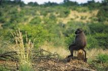 Baboon2.