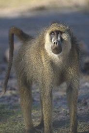 Baboon3.