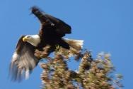 Bald Eagle3