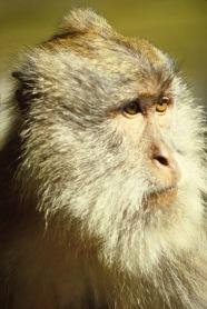 Balinese long tailed Monkey.