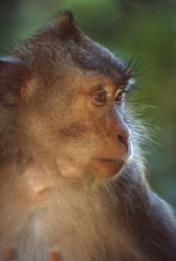 Balinese long tailed Monkey2.