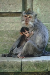 Balinese long tailed Monkeys.