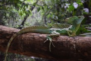 Basilisk Lizard.