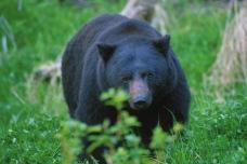 Black Bear2.