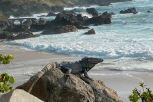 Black Iguana.