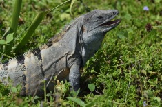 Black Iguana2.