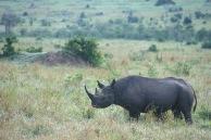 Black Rhino.