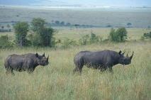 Black Rhinos.