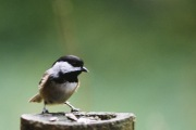 Black-capped Chickadee.
