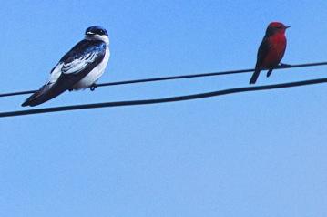 Blue and Vermilion Flycatchers