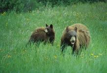 Brown Bears.