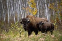 Buffalo2.