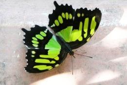 Butterfly12.