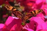 Butterfly8.