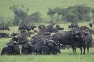 Cape Buffalos.