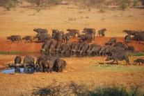 Cape Buffalos2.