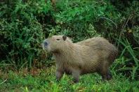 Capybara2.
