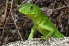 Chameleon4.