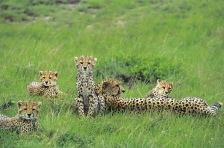 Cheetahs.
