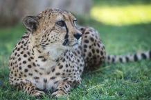 Cheetahs1.