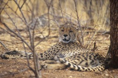 Cheetahs2.