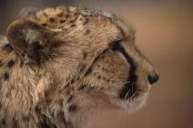 Cheetahs3.