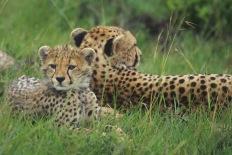 Cheetahs4.