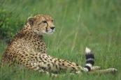 Cheetahs5.