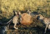 Cheetahs6.