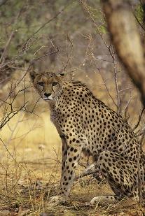 Cheetahs7.