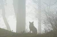 Coyote2.