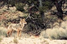 Coyote3.
