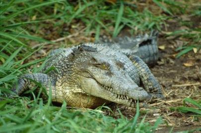 Crocodile2.