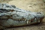 Crocodile3.