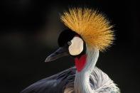 Crown Creasted Crane