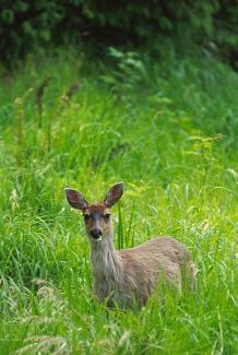 Deer2.