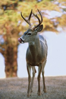 Deer4.
