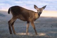 Deer5.