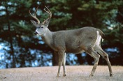 Deer6.