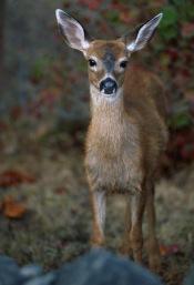 Deer7.