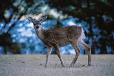 Deer8.