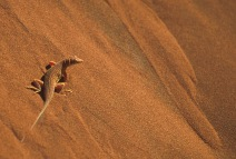 Desert Sand Lizard.